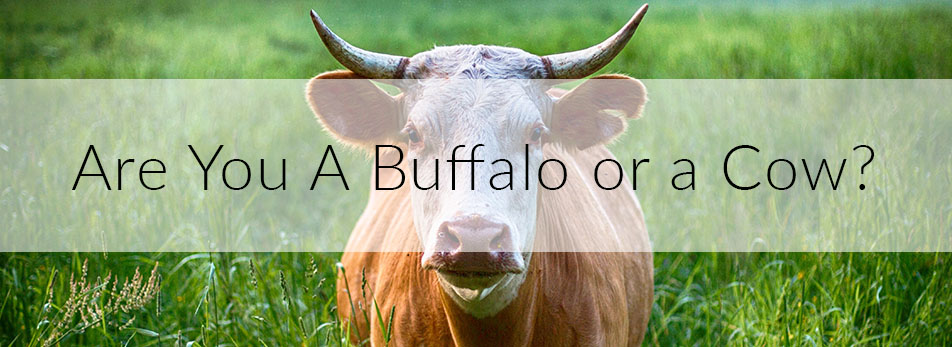 Are You A Buffalo or a Cow?